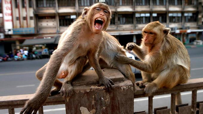 Más peligrosos que monos con navaja: Monos robaron muestras de pacientes con COVID-19 en India