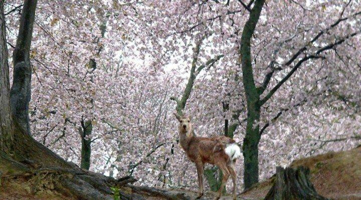 Las maravillosas imágenes de ciervos descansando bajo los cerezos en flor en Japón